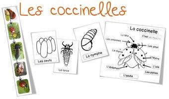 Image de Sciences/Elevage : les coccinelles